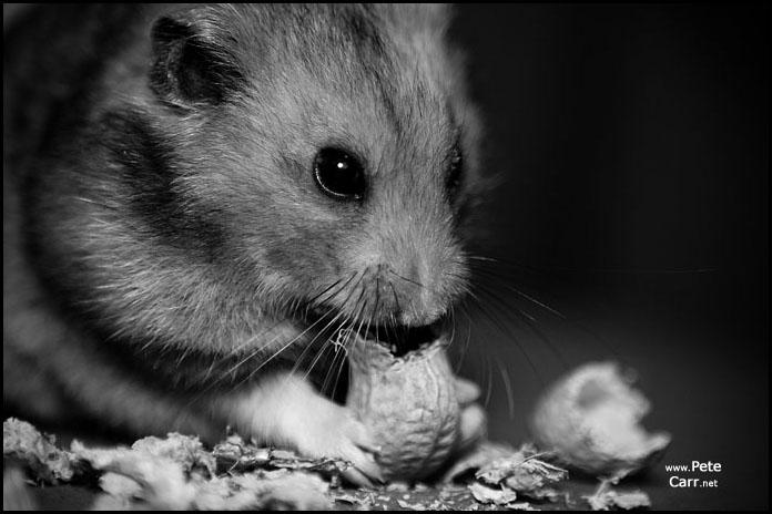 Random Hamster shot