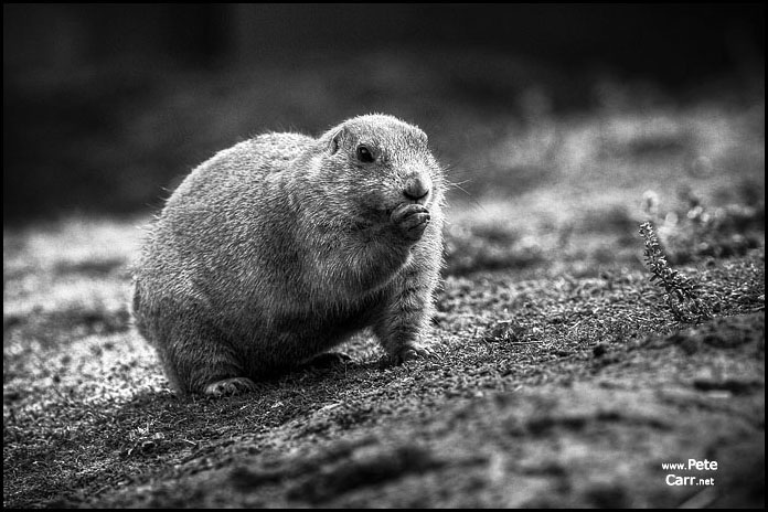 A pondering Marmot